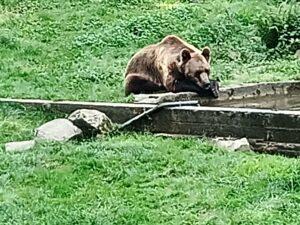 Björn som solar sig