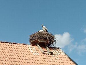 storkar i boet bonusdjur i Skånes Djurpark